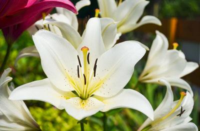 Lilies-1200x785 (Demo)